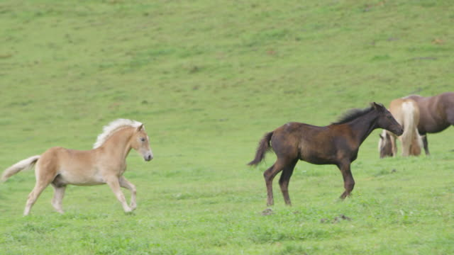 4K: Two foals running and playing on a meadow (Super Slow Motion)