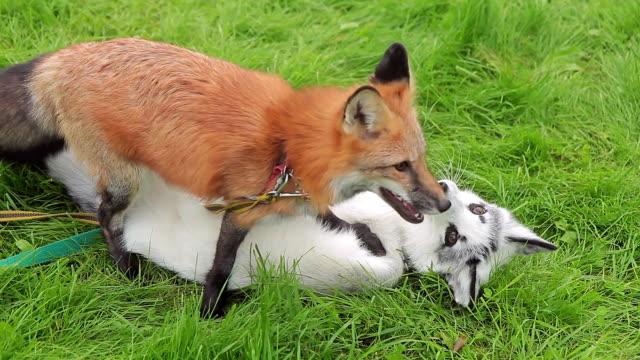 Dos zorros jugar sobre la hierba verde en el parque en la tarde de verano - vídeo