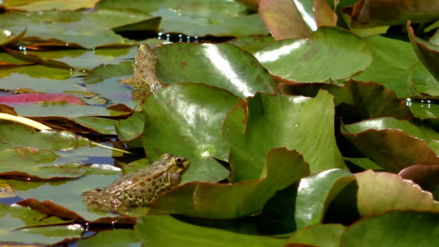 Two frogs, one croaking video