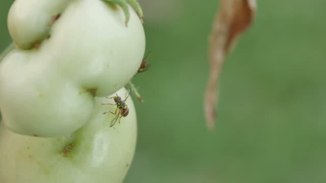 two fruit flies resting around the tomato video