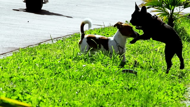 Two funny dogs playing on green grass Two funny dogs playing on green grass at sunny summer day. Joyful jumping Jack Russell Terrier and French bulldog purebred dog stock videos & royalty-free footage