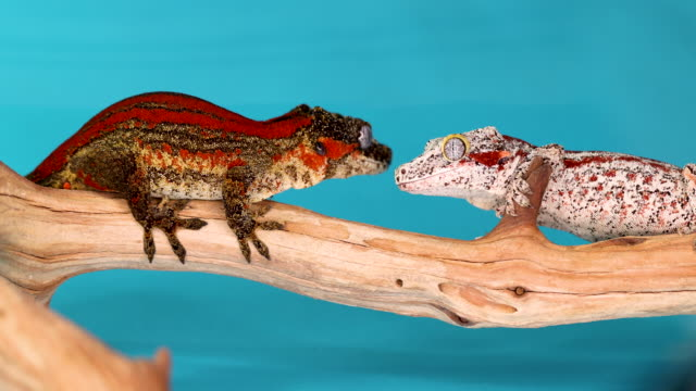 Two Gargoyle Geckos Staring At Each Other While On A Branch Until One Of Them Jumps Towards The Blue Background A white and red Gargoyle Gecko staring at a red, brown, and yellow Gargoyle Gecko that jumps off the branch that they are both on top of. The blue background highlights their colors and patterns. 4k gecko stock videos & royalty-free footage