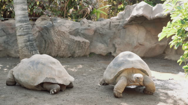 Two giant old turtles slowly crawling on the sandy floor in the zoo Two giant old turtles slowly crawling on the sandy floor in the zoo tortoise shell stock videos & royalty-free footage