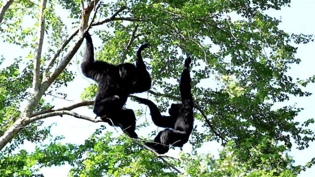 два gibbons сражение на дерево - гиббон стоковые видео и кадры b-roll