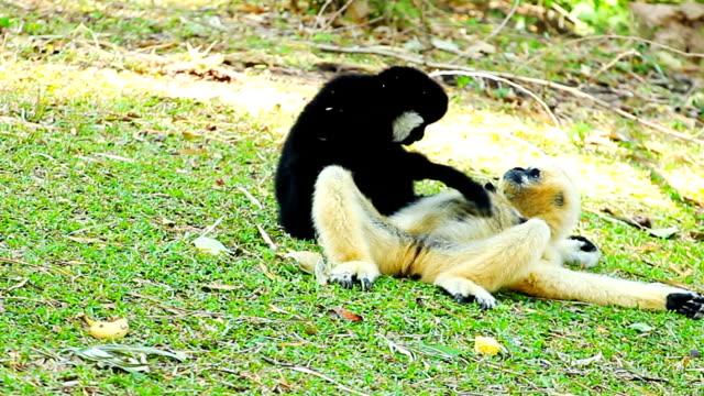 two gibbons resting - gibbon människoapa bildbanksvideor och videomaterial från bakom kulisserna