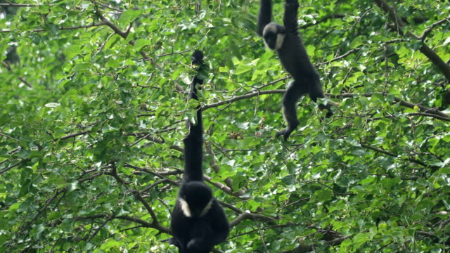 two gibon bialobrody or White-Cheeked Gibbon play and tease together video