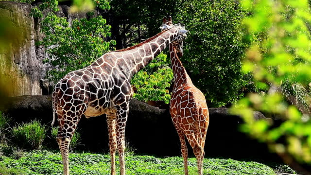 Two giraffes in Kenya video