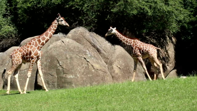 Two giraffes passing each other video