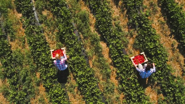 vídeos de stock e filmes b-roll de two girls picking strawberries into a boxes at the field, drone view - picking fruit