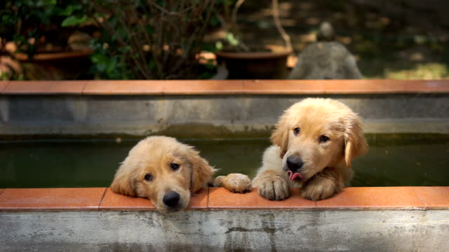 two golden retriever puppies in the water - cagnolino video stock e b–roll
