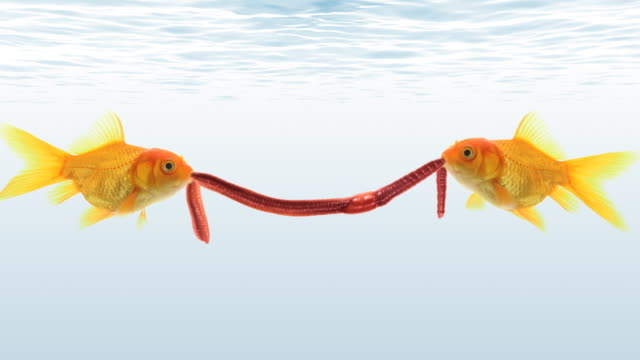 Two goldfishes struggle for a worm video