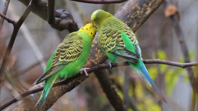 Two green parakeet, budgie on a branch video