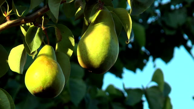 Two green pears Two green pears illuminated by the setting sun hanging stock videos & royalty-free footage