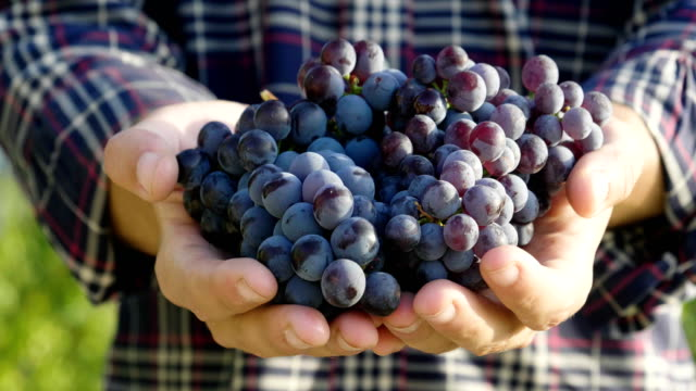 two hands of  farmer in September to harvest vineyards , check and collects the selected grape bunches in Italy for the great harvest.