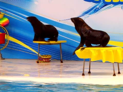 two happy seal - morrhår bildbanksvideor och videomaterial från bakom kulisserna