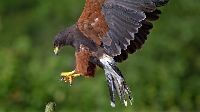 slo mo of two hawks swapping the spot on wooden pole - appollaiarsi video stock e b–roll