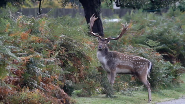 Autumn fallow deer buck and stag 2012 HD video video