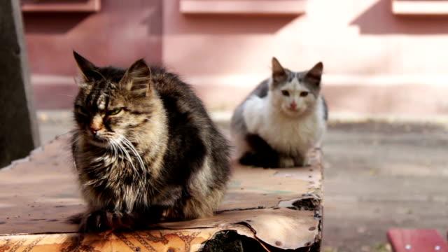 vídeos de stock e filmes b-roll de dois desalojados gato sentado na tabela - lata comida gato