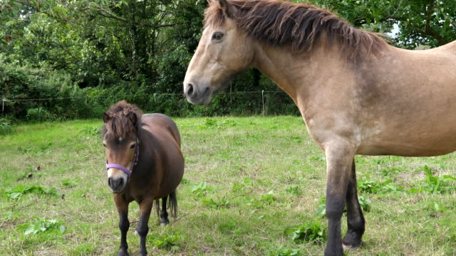 Bидео Two horses big and small eating