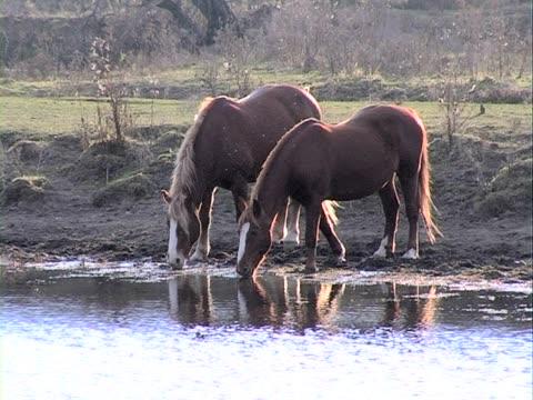 zwei pferde trinken wasser - pferdeartige stock-videos und b-roll-filmmaterial