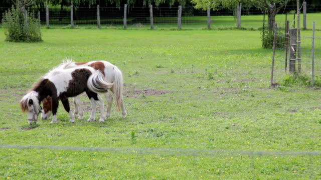 Two horses eating grass. Burgundy