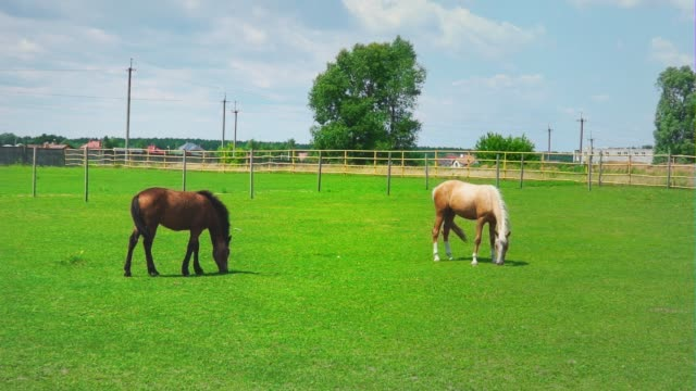 two horses grazes on green grass in the paddock. horses on the pasture on sunny day - criniera video stock e b–roll