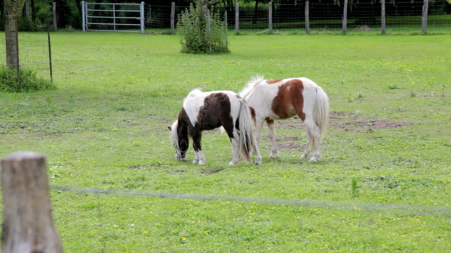 Two horses grazing in grassy field, ranch or farm animals