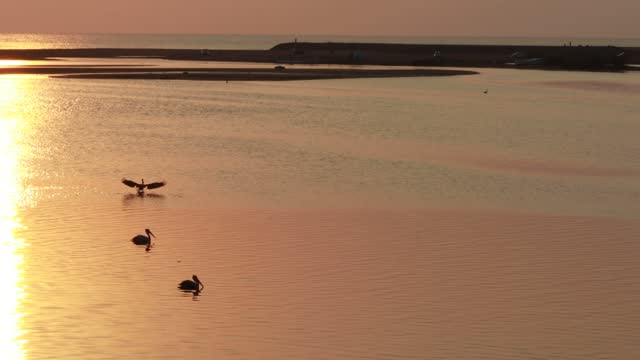 Two hungry pelican birds float on the water at sunrise in the morning looking for food and a pelican flies off the water Two hungry pelican birds float on the water at sunrise in the morning looking for food and a pelican flies off the water , wild Nature short footage pelican stock videos & royalty-free footage