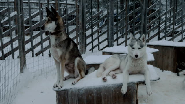 Two husky dogs on the kennel in cage video