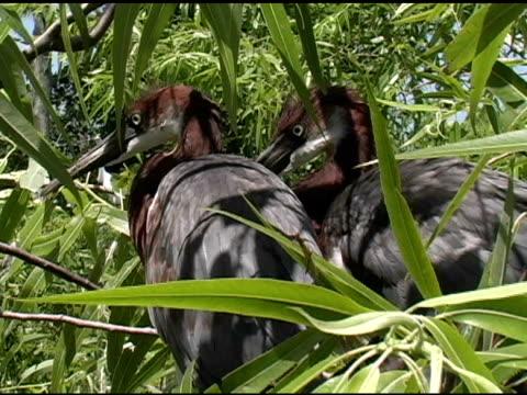 due esemplari aironi tricolore - appollaiarsi video stock e b–roll