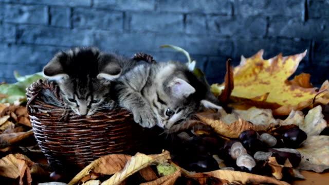 秋の葉に囲まれたウィッカーバスケットの中の2匹の子猫 - 籠点の映像素材/bロール