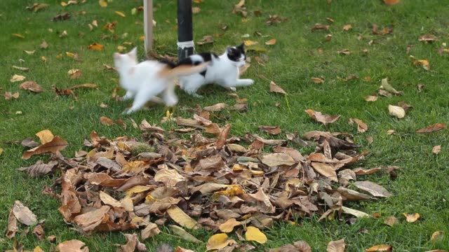 Two  kittens playing on the grass Two  kittens playing on the grass shorthair cat stock videos & royalty-free footage