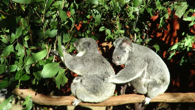 Two Koala's and a Baby on a Branch video