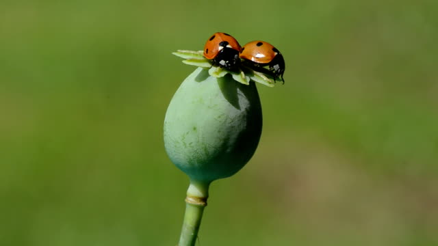 Two ladybugs perching on poppy seed head video