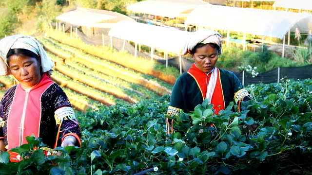 Two lahu people hill tribes Two lahu people hill tribes women and working strawberry farm in the mountains, North Thailand. thai ethnicity stock videos & royalty-free footage