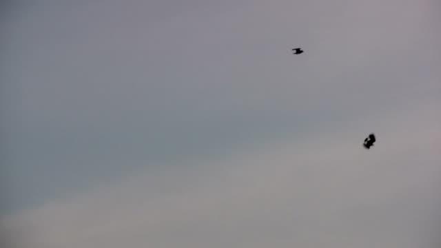 2 lapwings 飛ぶ - 2匹点の映像素材/bロール