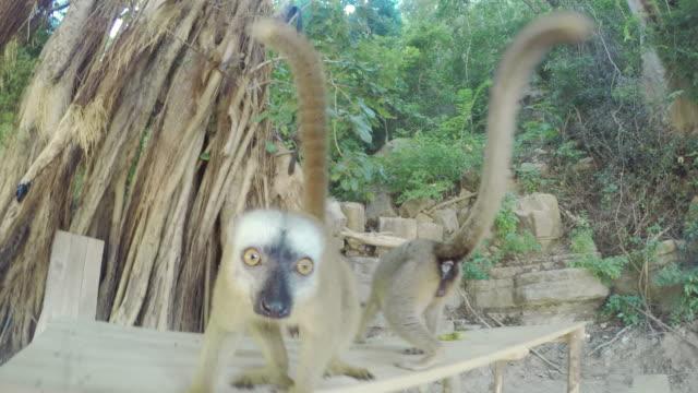 två lemurer kontroll på en kamera - lemur bildbanksvideor och videomaterial från bakom kulisserna