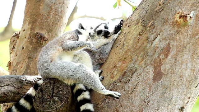 two lemurs resting on tree - lemur bildbanksvideor och videomaterial från bakom kulisserna