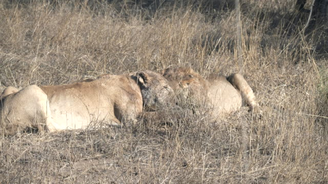 two lion cubs compete for the remains of a warthog at serengeti np