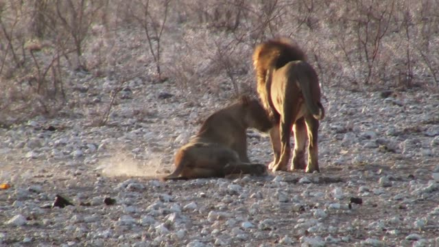 Two Lions at Courtship in Etosha Pan Male and Female Lion Courtship Ritual in Etosha National Park, Namibia, Africa namibia stock videos & royalty-free footage
