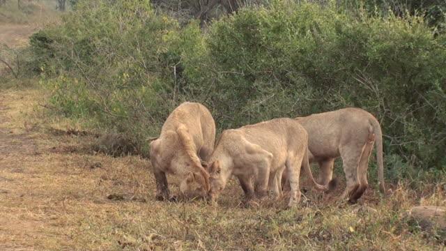 vídeos y material grabado en eventos de stock de dos leones de lucha - lucha