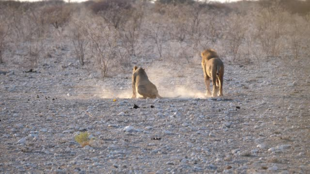Two Lions Mating in Etosha
