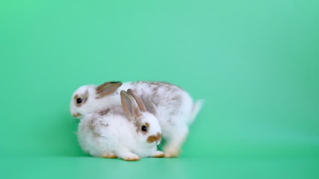 i̇ki küçük sevimli tavşan standı ve yeşil ekran arka planda birbirlerine yakın atlamak - tavşan hayvan stok videoları ve detay görüntü çekimi