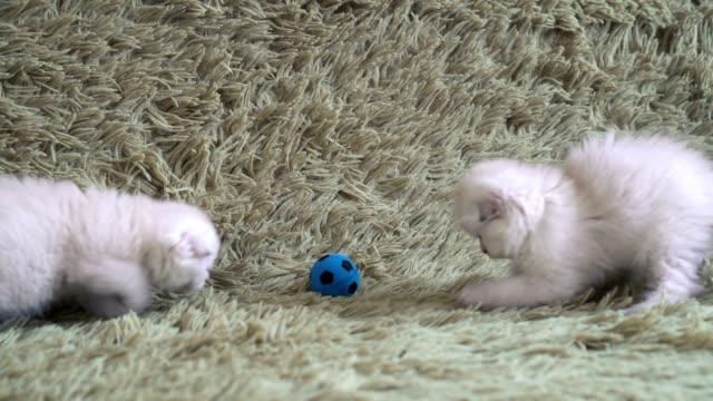 かわいい白い子猫フットボール - 子猫点の映像素材/bロール