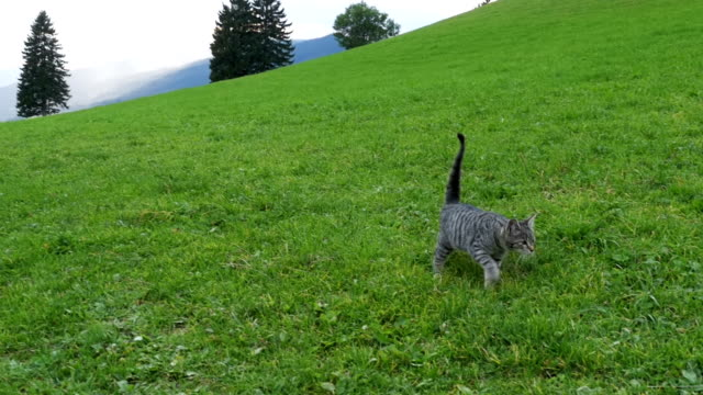 Two Little Playful Gray Cats Play and Run on a Green Grass in the Mountains of Austria. Slow Motion video