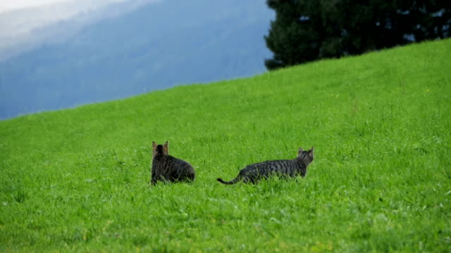 Two Little Playful Gray Cats Play and Run on a Green Meadow in the Mountains of Austria. Slow Motion video
