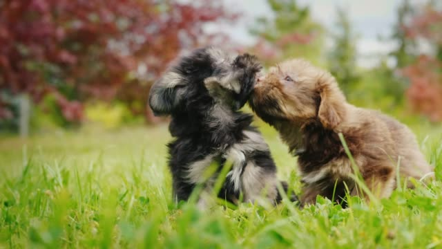 Two little puppies are playing on the lawn. Playful pets