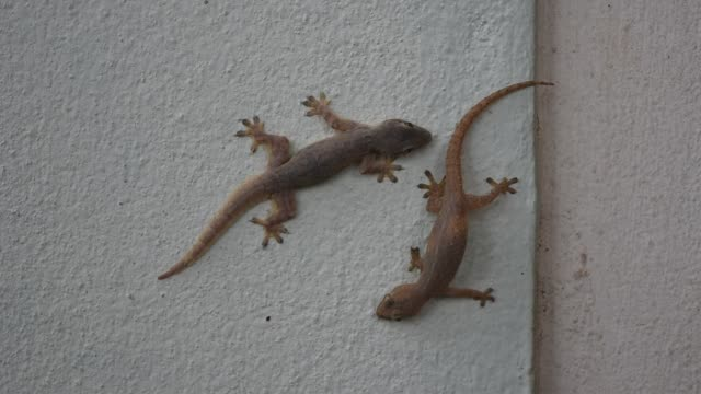 Two lizards tease each other by biting the tail Two lizards tease each other by biting the tail,Hemidactylus platyurus,Thai Gecko stuck on wall ,Funny and cute behavior of animals gecko stock videos & royalty-free footage