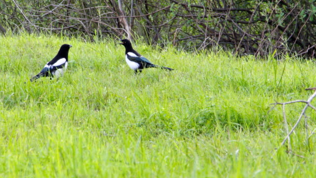 Two magpies on meadow video