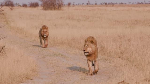 ボツワナ、カメラに向かって歩いて 2 つのメール ライオンズ ビデオ